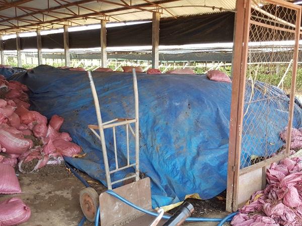 cách ủ phân bò